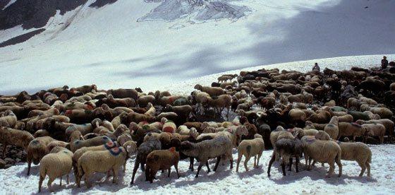 Transumanza delle pecore