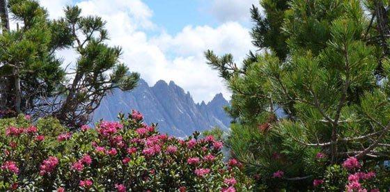 Rose alpine a primavera