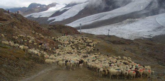 Trasumanza della pecore