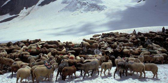 Transhumanza delle pecore in Val Senales